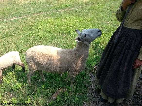 SHEEP AT OLD MISSOURI TOWN (1)