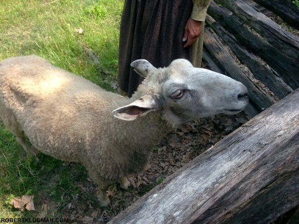 SHEEP AT OLD MISSOURI TOWN (2)