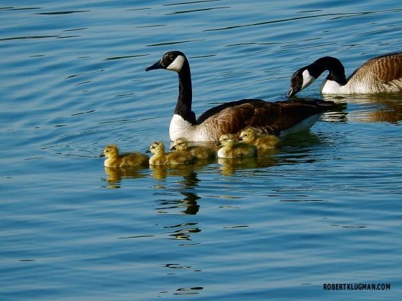 GEESE & BABIES(4)WM