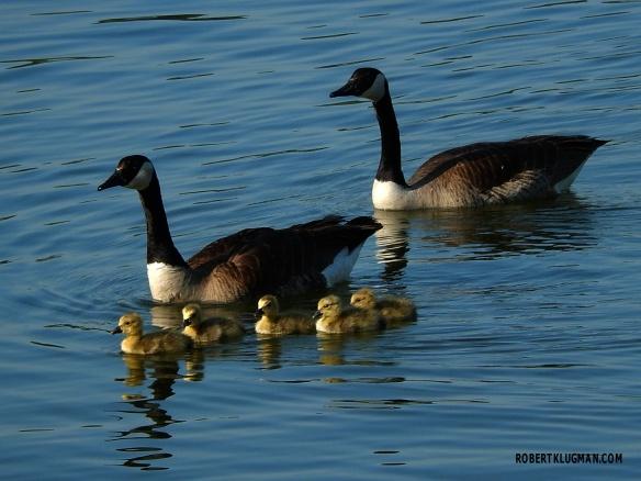 GEESE & BABIES(5)WM